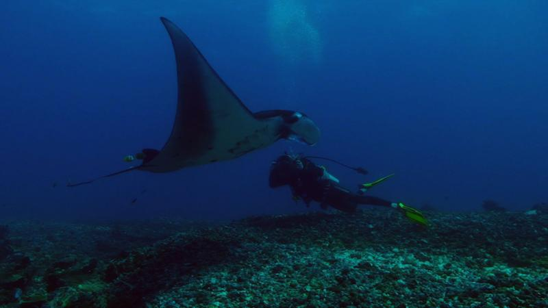 Manta ray, Komodo