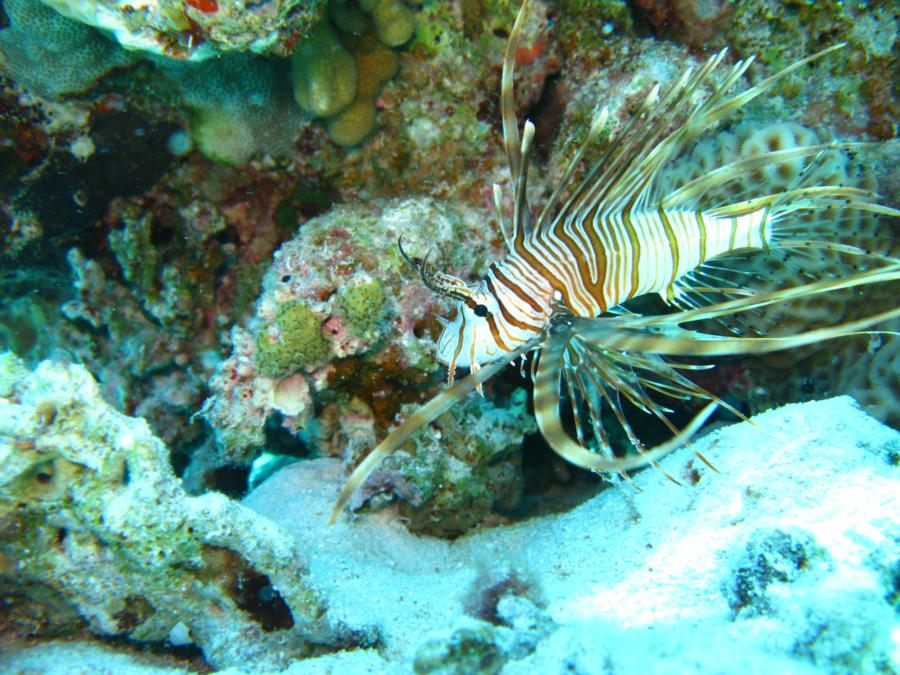 Lion Fish, Hurghada, Egypt