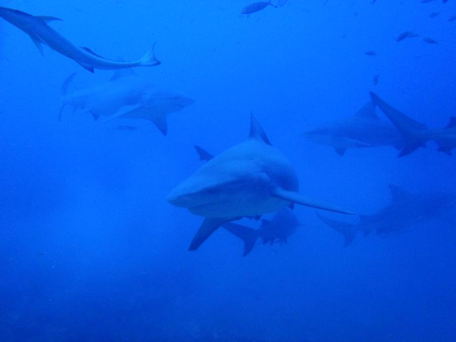 Fiji Shark Dive