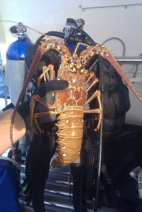 Lobster caught off Jupiter reef