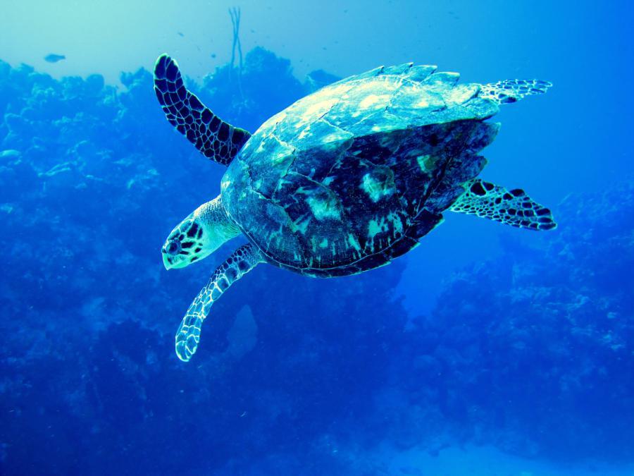 Hawk Turtle