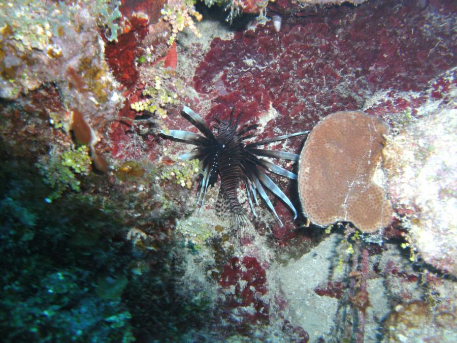 lion fish in the cayman