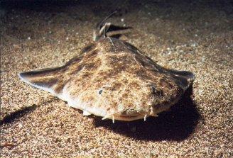 Angel Shark Tenerife