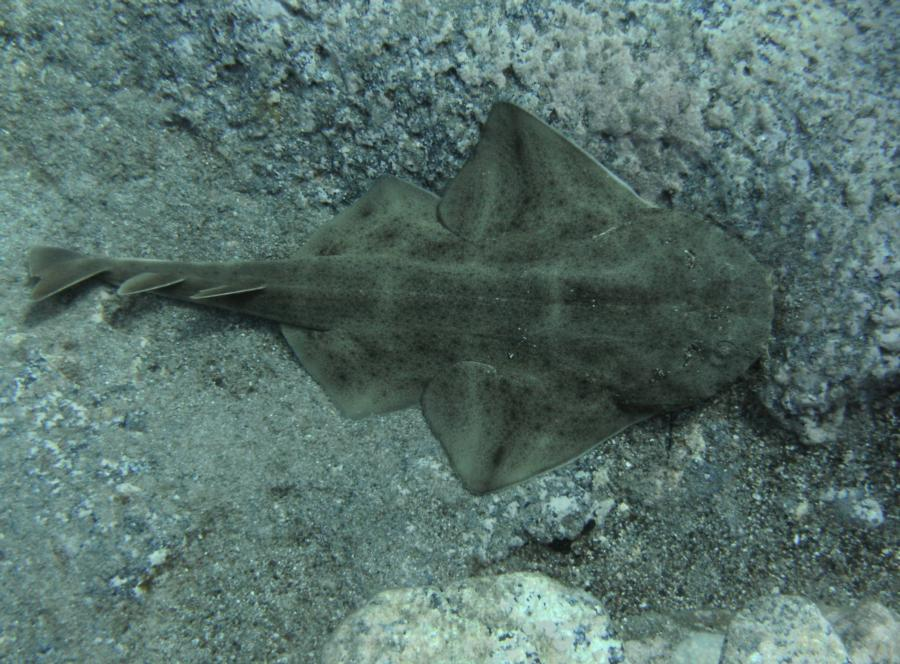 Baby Angel Shark In Tenerife