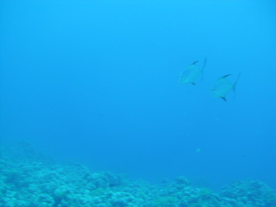 Tuna in the Red Sea