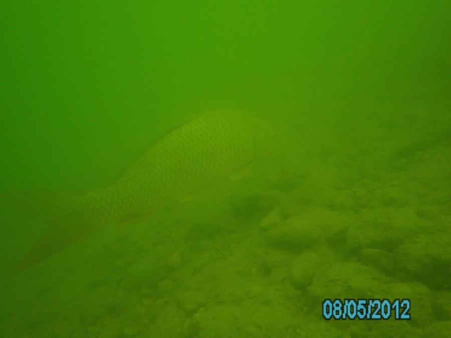 Lake Travis Carp