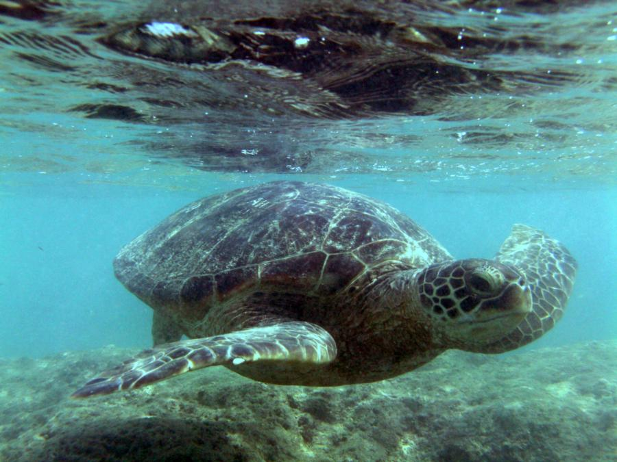 Turtle at Hanauma Bay