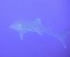 Whale Shark Tahiti