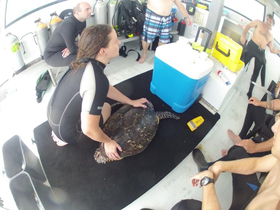 Tagging a Hawksbill Turtle