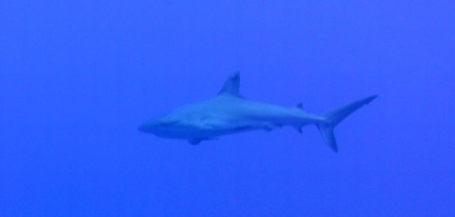 Beautiful shark in a wall Dive in Cayman Brac