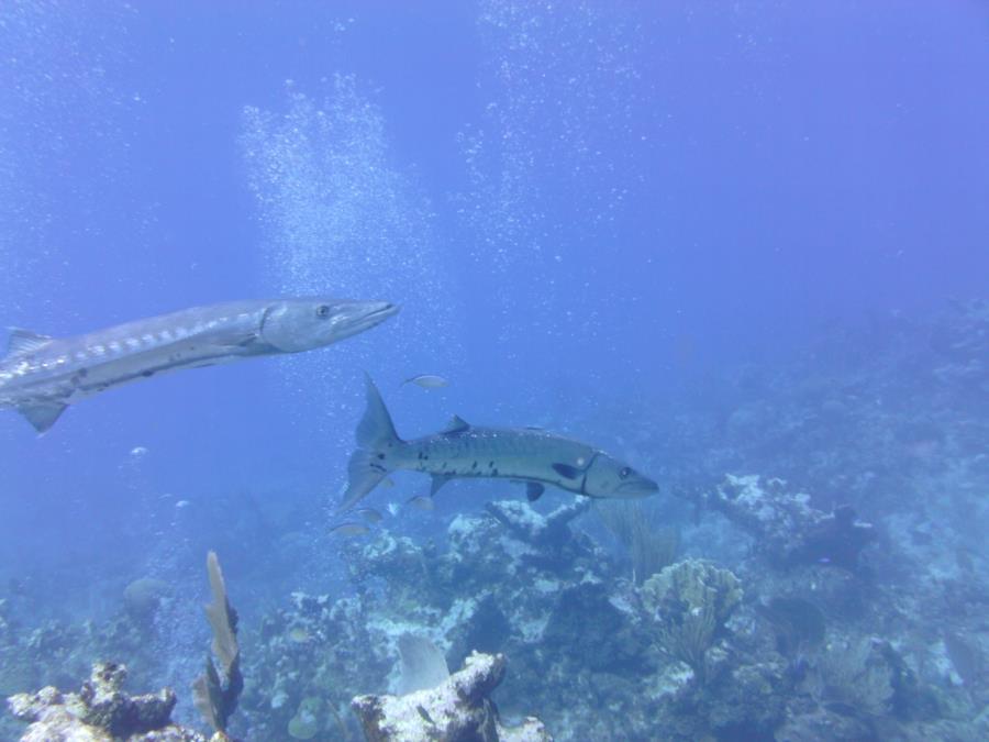 Freakishly big barracudas in Cayman Brac