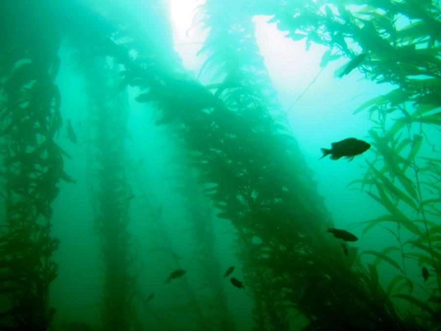 La Jolla Cove kelp