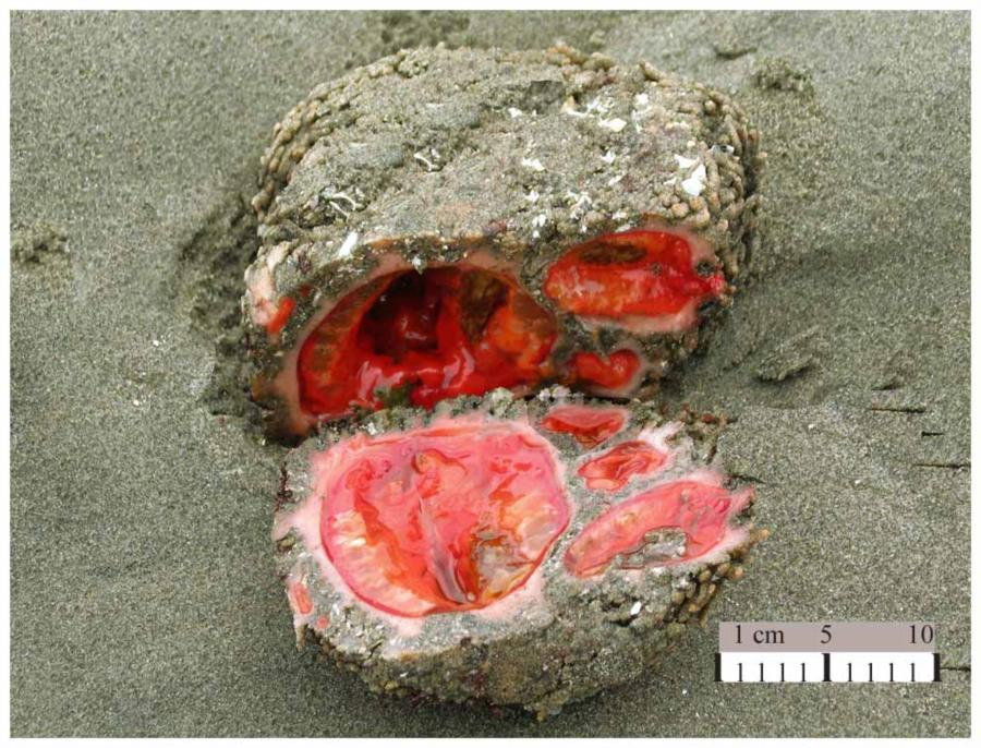 A rock-like living sea creature (Pyura chilensis) found off the coast of Chile and Peru