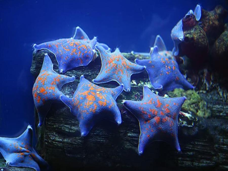 Beautiful Blue Star Fish with Orange Spots