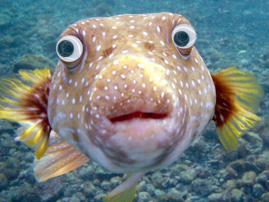 Puffer with googly eyes