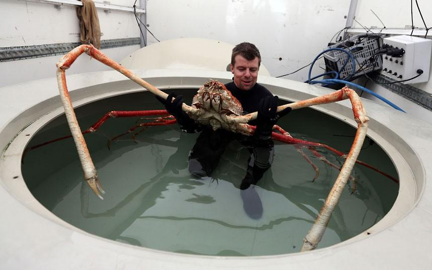 Japanese Spider Crab with leg span up to 12 feet!