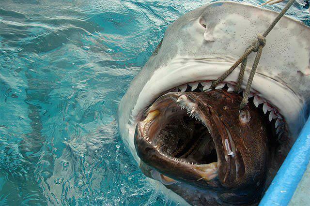 Shark feeding on big fish
