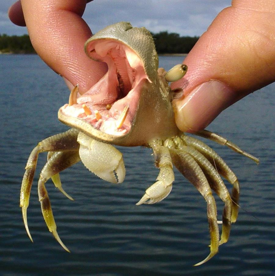 Hippo Crab