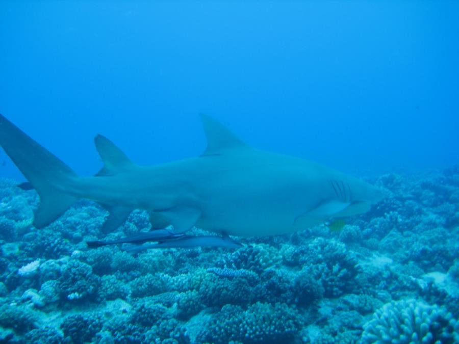 Lemon Shark at Motu Tapu, Bora Bora