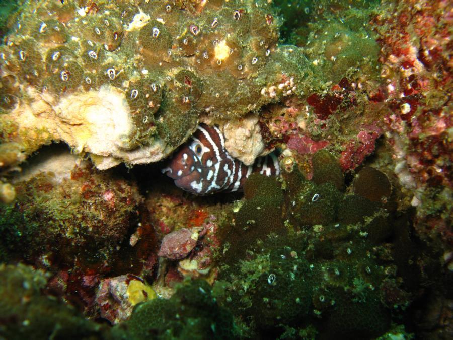 Zebra moray eel, Oman