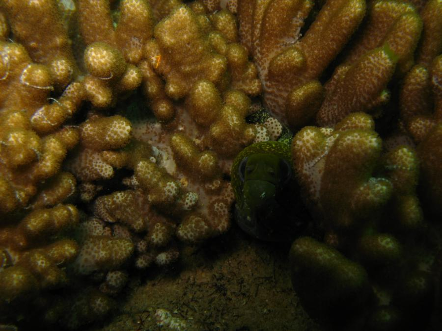 Green moray eel, Oman