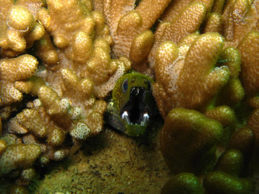 Green moray eel, Oman