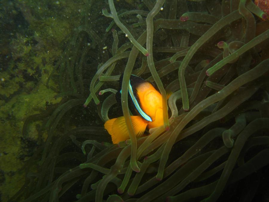 Clark Clown Fish, Oman