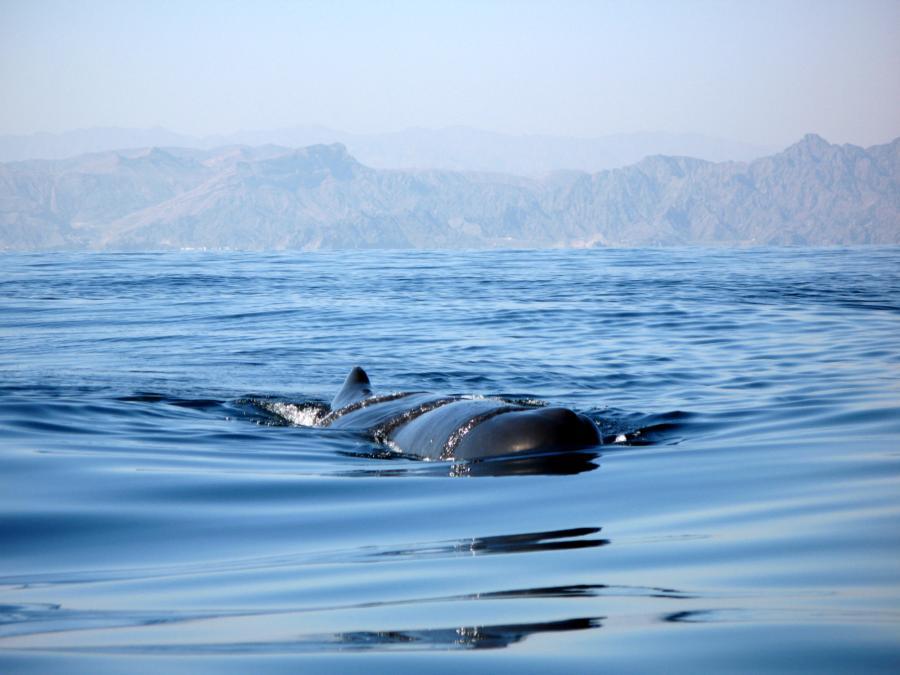 Sperm whale oman