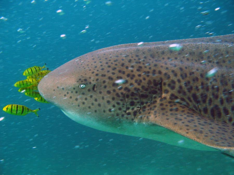 Leopard shark, Oman