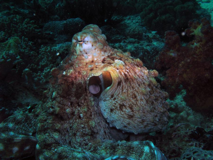 Octopus, Oman