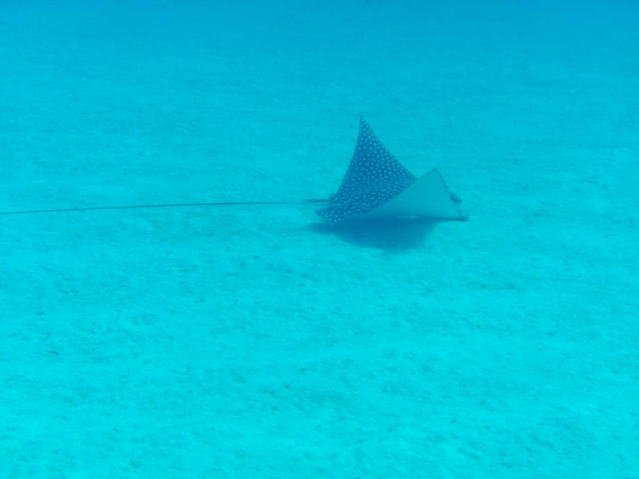 Spotted Eagle Ray at Blackie's Hole - credit Matt Moore