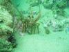 Rock lobster off Grand Bahama Island (Shark Alley)