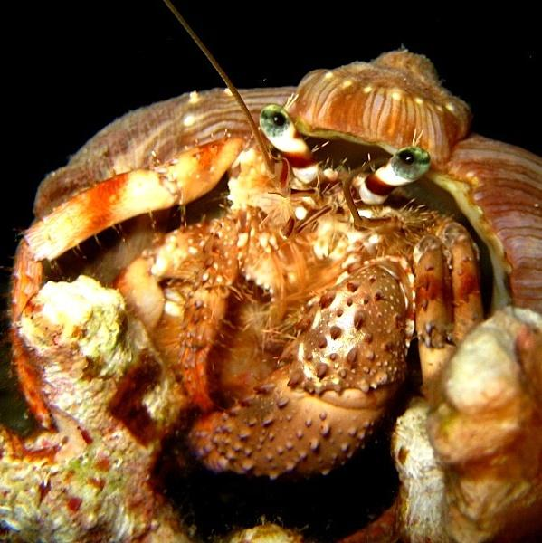 13-Anemone hermit crab.
