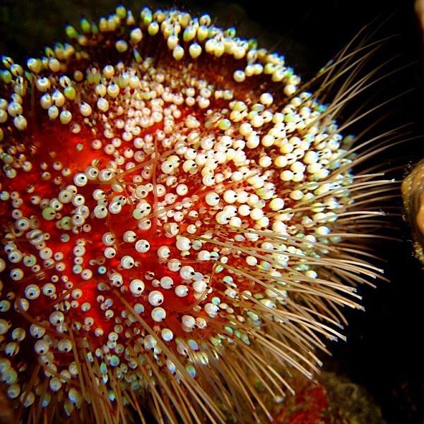 35-Motley sea urchin.