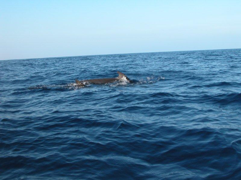 pilot whales Kona