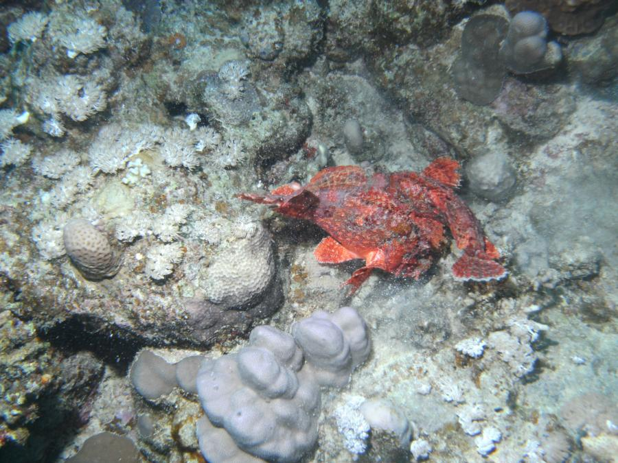 Mating Scorpion Fish