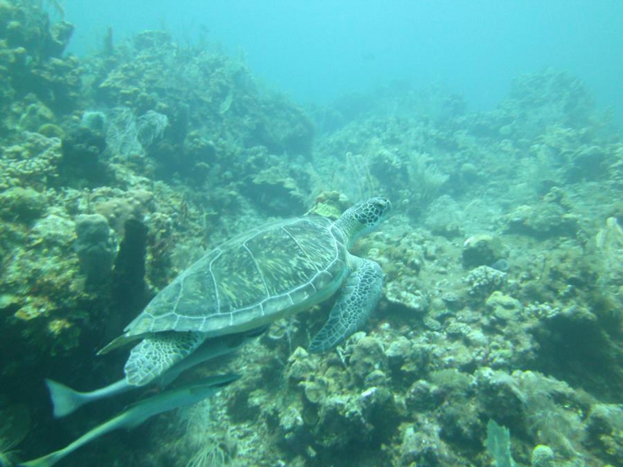 Turtles of Roatan