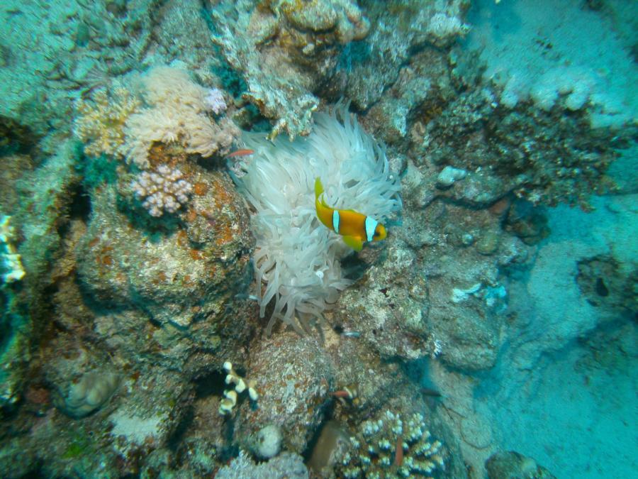 Clownfish, Marsa Alam, Egypt