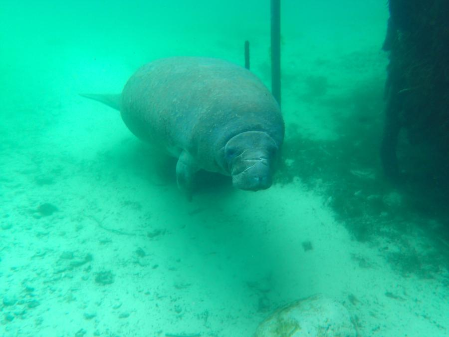 Manatee at the entrance of Three Sisters Springs