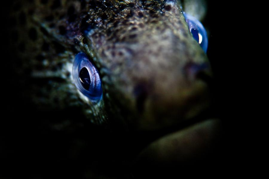Giant Moray, Red Sea