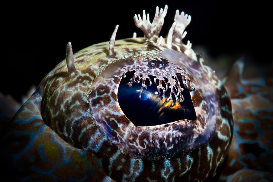 Crocodilefish Eye, North Sulawesi