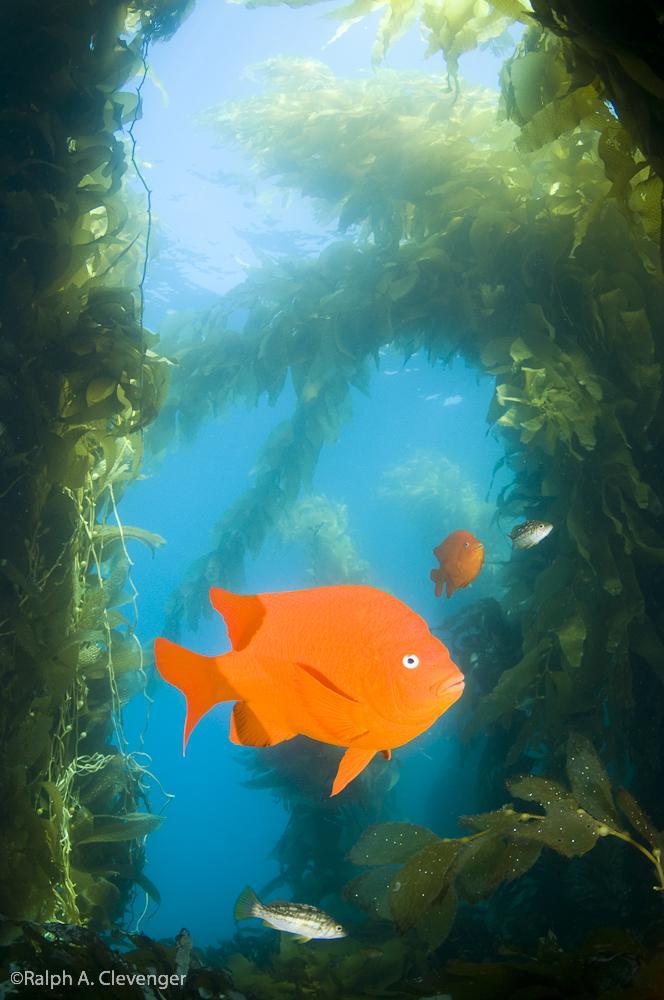 Garibaldi in Kelp Forest