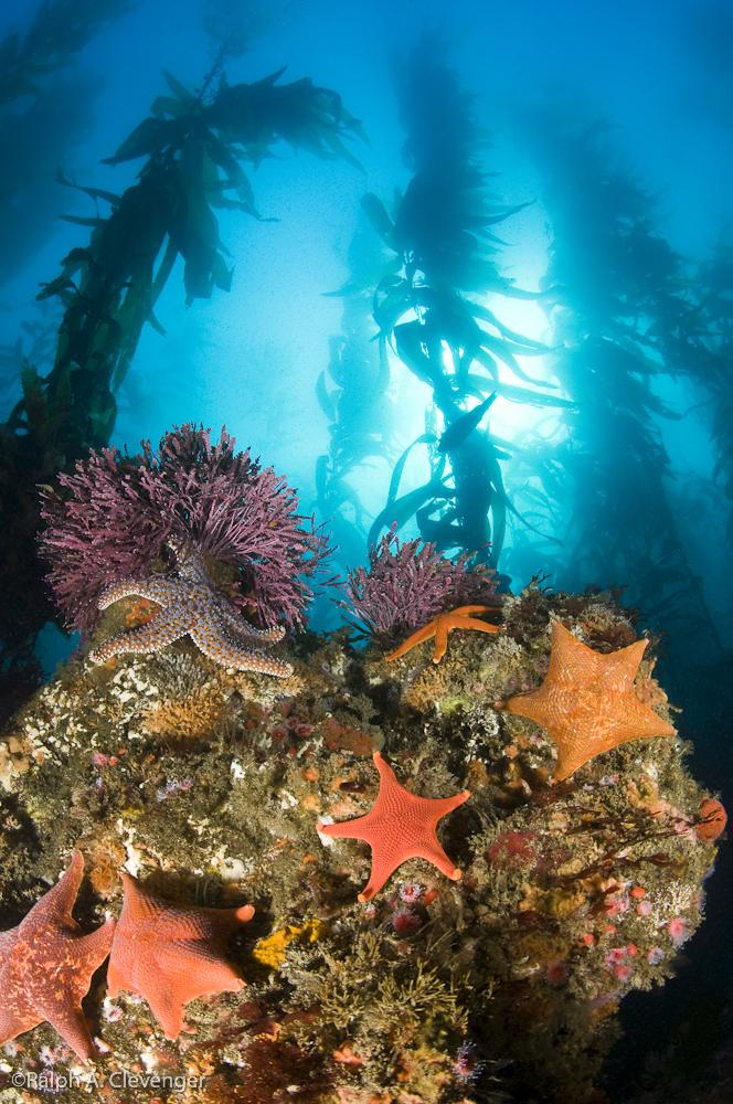 Island Kelp Forest Courtesy of Ralph Clevenger