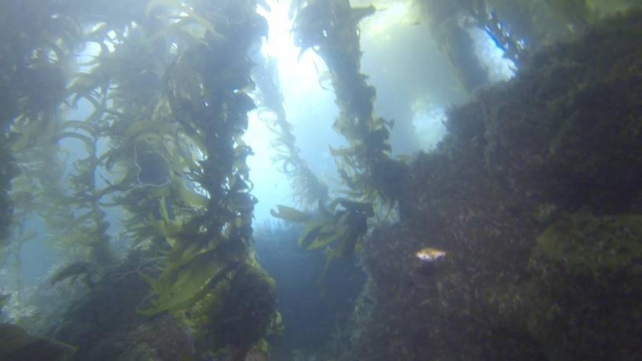 Below the kelp