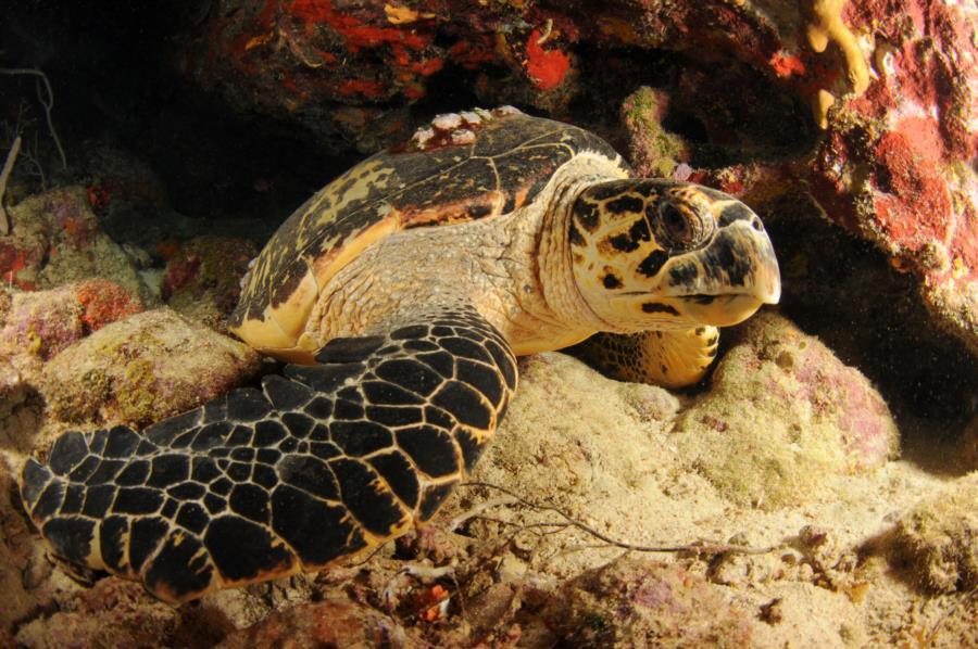 Turtle @ Night Dive in Puerto Rico