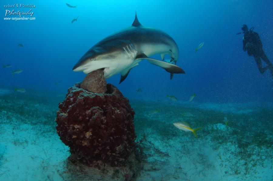 Tiburon de Arrecife en Jardines de la Reina Cuba