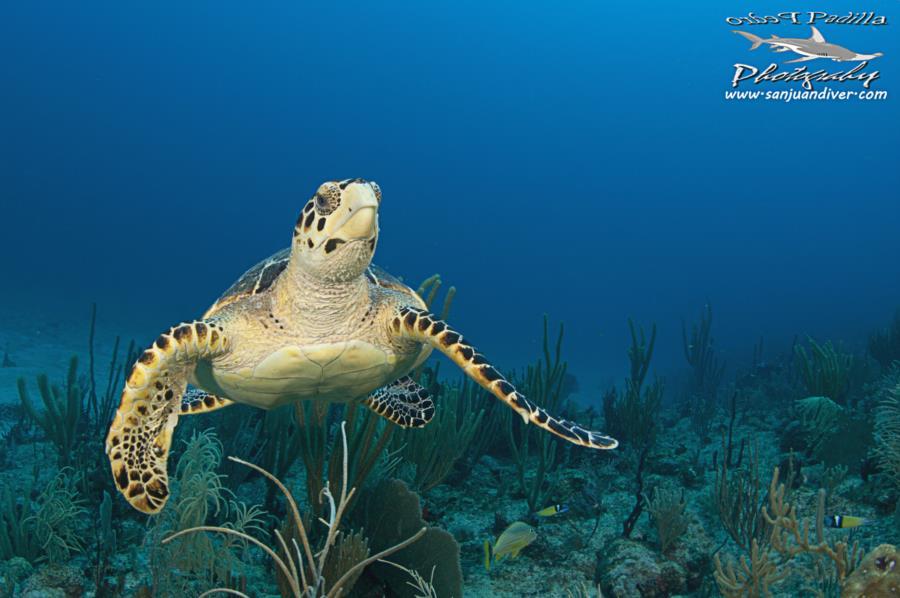 Turtle in Puerto Rico