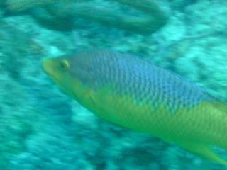 Rainbow fish - Boynton Beach