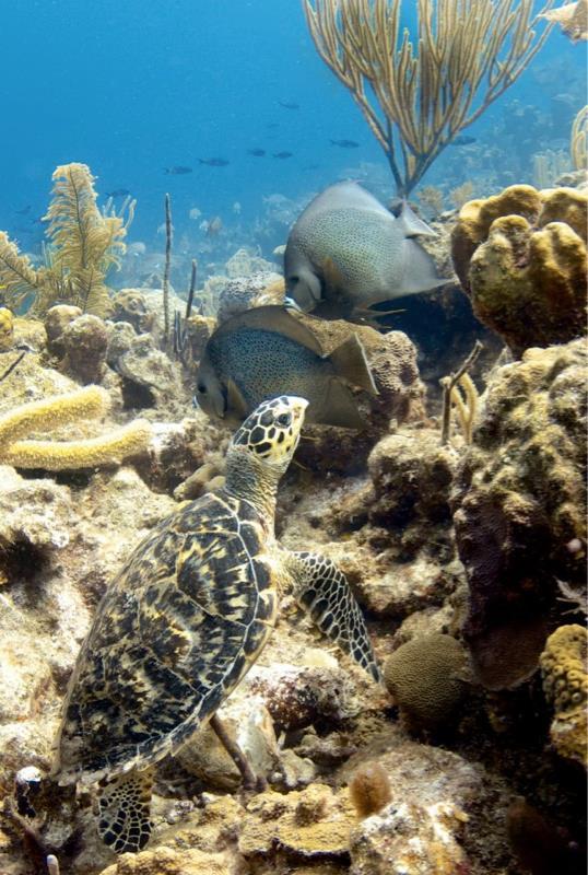 Turtle & fish (Turks & Caicos)