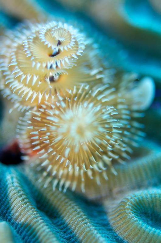 Brain coral & Christmas tree worms